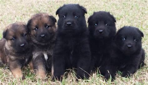 german shepherd puppies for sale in mississippi psd kennels k 9 protection for and the sector