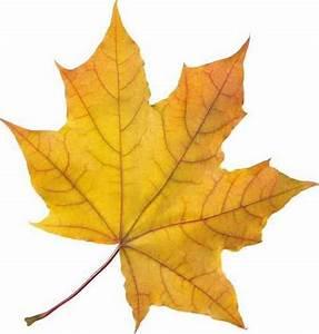Рисунки кленовый лист скачать