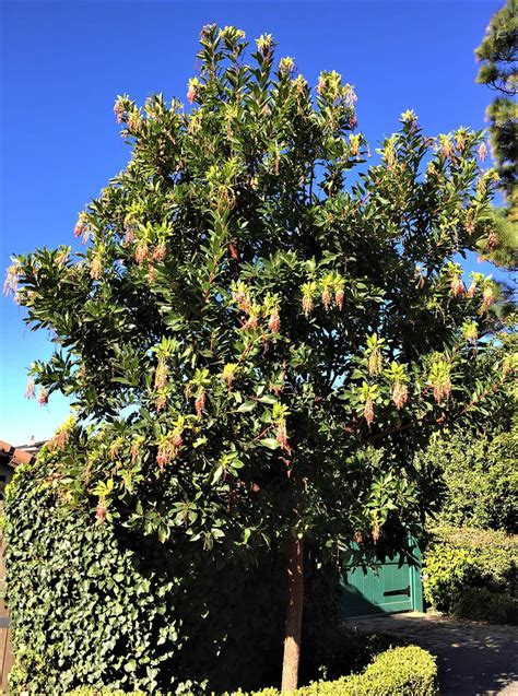 Arbutus Unedo Marina by Marina Strawberry Tree Santa Barbara Beautiful