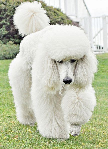 poodle with plain hair cut white standard poodle dogs i adore pinterest