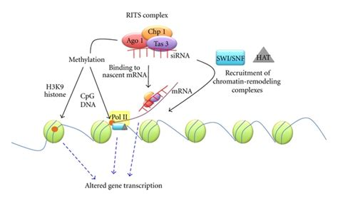 Remodeling cotranscriptional chromatin remodeling by small rna
