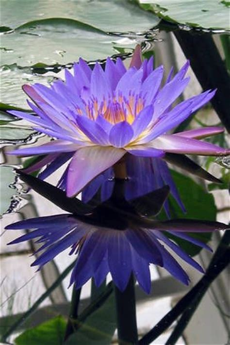 meaning of blue lotus flower 1000 ideas about blue lotus on lotus lotus