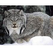Animals Canadian Lynx Canada Picture Nr 14252