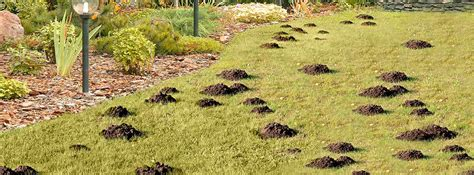 come eliminare una talpa dal giardino come eliminare le talpe se al