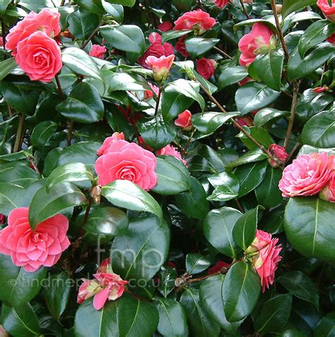 camellia plant www imgkid com the image kid has it
