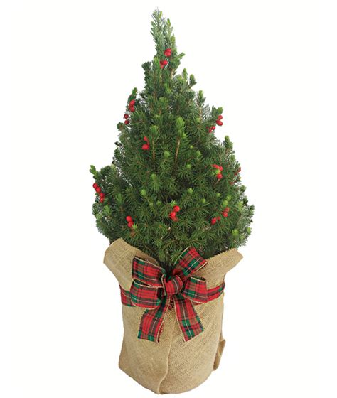 majestic spruce christmas tree tabletop tree alberta spruce tree calyx flowers