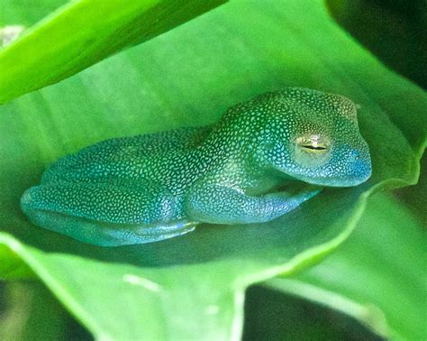 Sleeping Glass by Sleeping Glass Frog Photograph By Alan Olansky