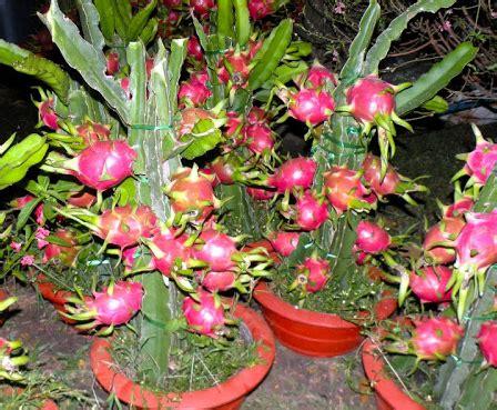 Bibit Buah Naga Merah Dalam Pot cara menanam tanaman buah naga di pot tanaman hias