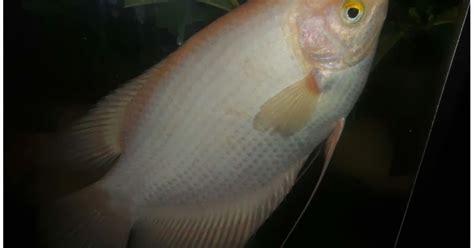 Pakan Ikan Lele Paling Bagus pakan ikan gurami kagaku pesca