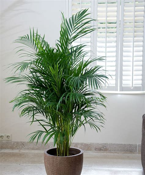 indoor palm 25 best ideas about palm plants on pinterest palm house