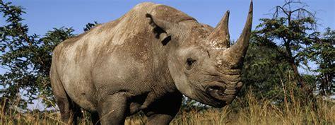 black rhino black rhino species wwf