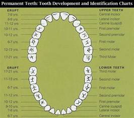 Comfort Dental Of Lafayette Teeth Chart Greg Ganzkow Dds Tooth Charts