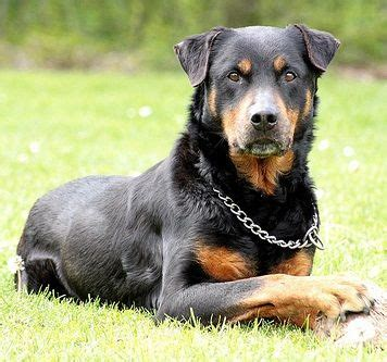 how to your rottweiler puppy with simple commands 25 best ideas about rottweiler on rottweiler info