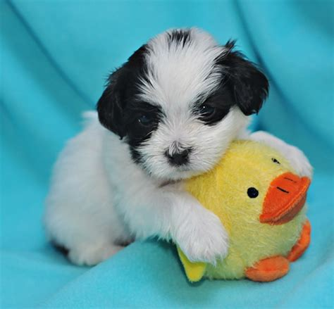havanese puppies for sale indiana everything about havanese puppies for sale