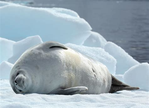 the sea l crabeater seal