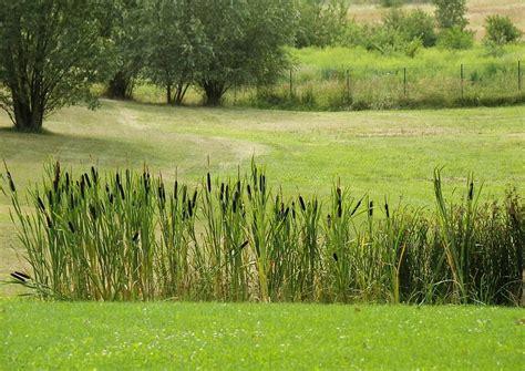schilf pflanzen als sichtschutz 2158 typha latifolia rohrkolben schilf sichtschutz