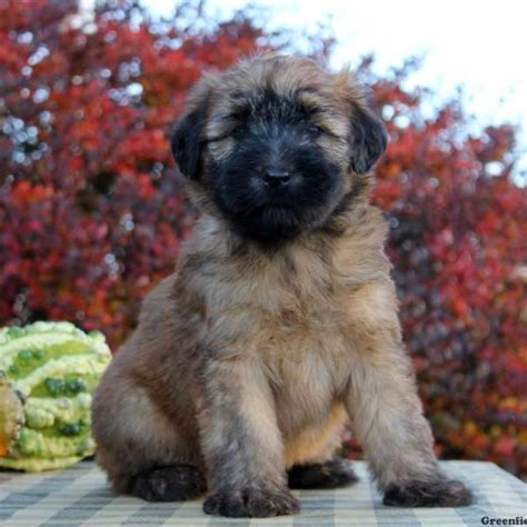 wheaton terrier puppy soft coated wheaten terrier puppies for sale in de md ny nj philly dc and baltimore