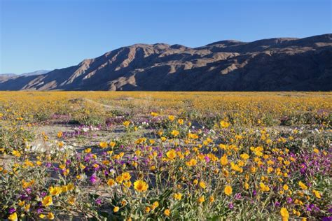 desert flowers anza borrego where to see wildflowers spring 2017 via magazine