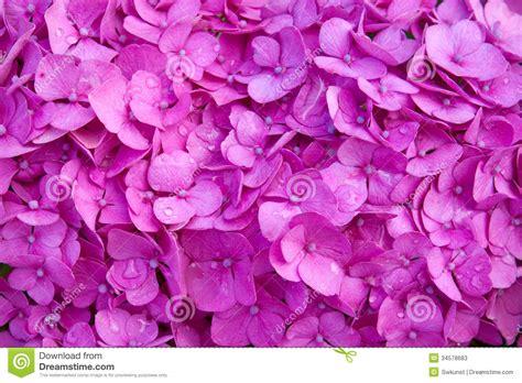 Hortensia Purple purple hortensia flowers background stock photos image 34578683