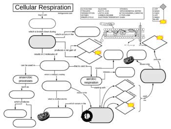 Cellular Respiration Graphic Organizer Key By