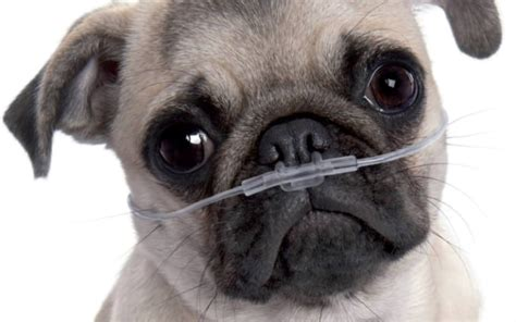 pug leg problems 12 facts about princely pugs