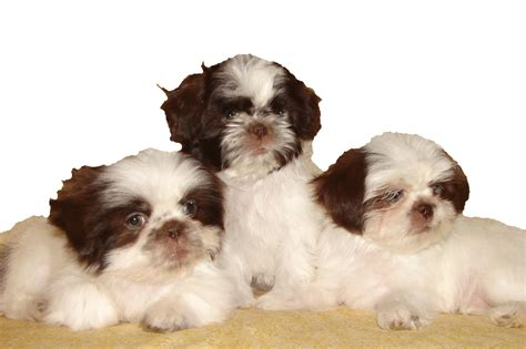shih tzu weight copyright 169 2012