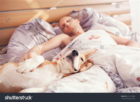 dog sleeps under bed beagle dog sleep his owner bed stock photo 313118405