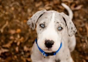 great dane colors mantle merle mantle great dane puppy great danes
