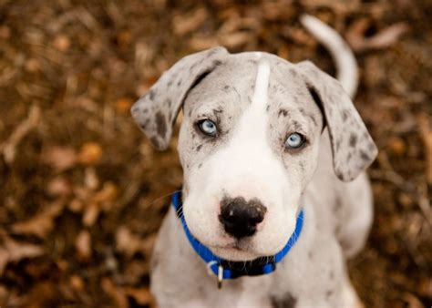 blue merle great dane puppies merle mantle great dane puppy great danes