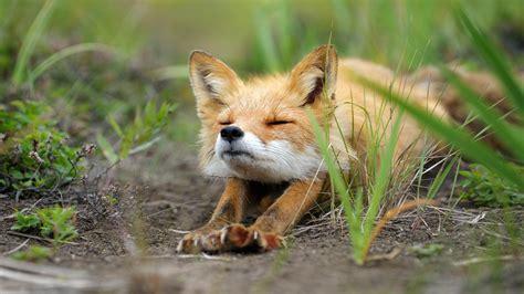 Baby Fennec Fox Wallpaper - animals fox digital wallpapers hd desktop and