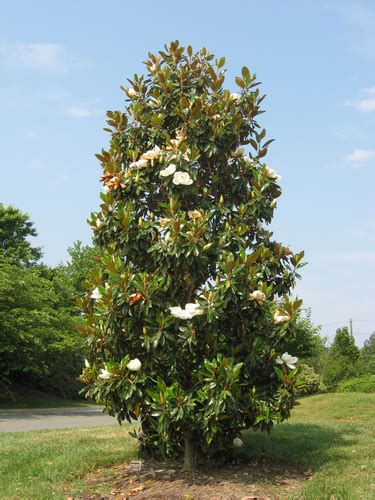 magnolia trees facts and care fast growing trees com blog