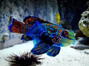 colorful saltwater fish amazing color the mandarin fish freshwater and