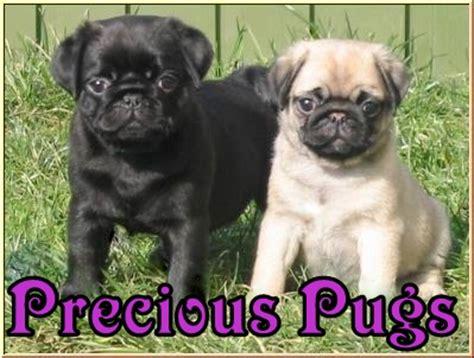 precious pugs acton high logo