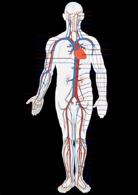 human vascular system diagram simple human circulatory system diagram