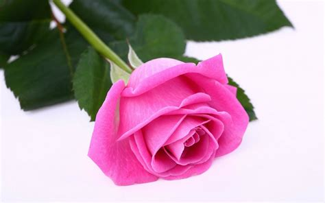 most beautiful pink roses hd wallpapers flowers pictures most beautiful pink roses hd wallpapers flowers pictures