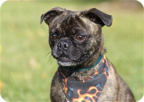 boston terrier cross pug boston terrier pug mix