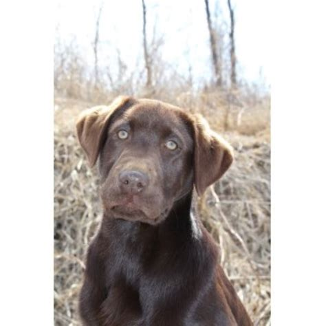 labrador retriever puppies mn labrador retriever lab for stud in minnesota freedoglistings breeds picture
