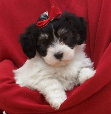havapoo puppies 17 best images about havapoo puppies on poodles my boys and to heaven