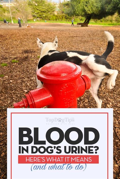 blood in dogs urine blood in s urine hematuria what it means and what you should do