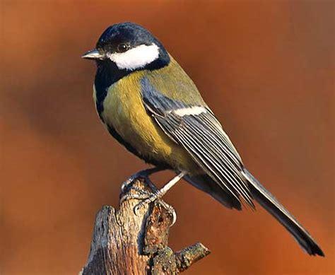 titmouse bird britannica com