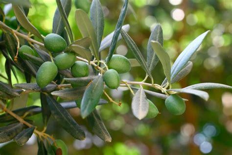 Rami Daun allarme in puglia olivi in pericolo a causa di un