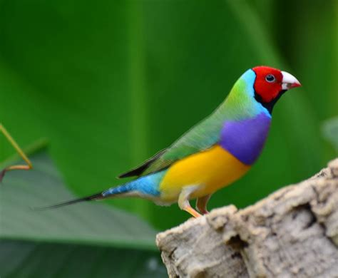 gouldian finch nature