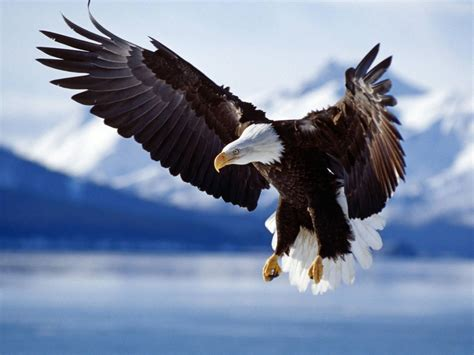 Flying Eagle Fast Blade Black Blue flying eagle desktop wallpaper high quality wallpapers