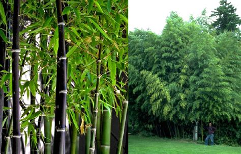 Kirai Kulit Bambu Hitam 2 kebun bambu budi daya bambu hitam