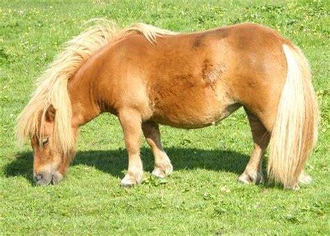 Miniatur Kuda Poni By Nicebags foto kuda poni lucu di siang hari foto kuda poni indah