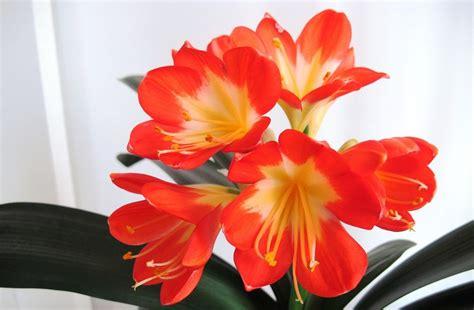 Imagenes Flores Naranjas | flores naranjas clivias im 225 genes y fotos