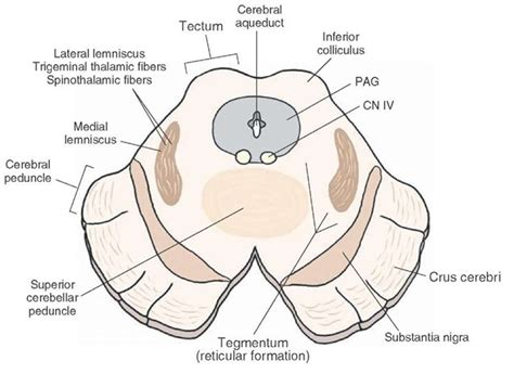 midbrain cross section brainstem iii the midbrain organization of the central