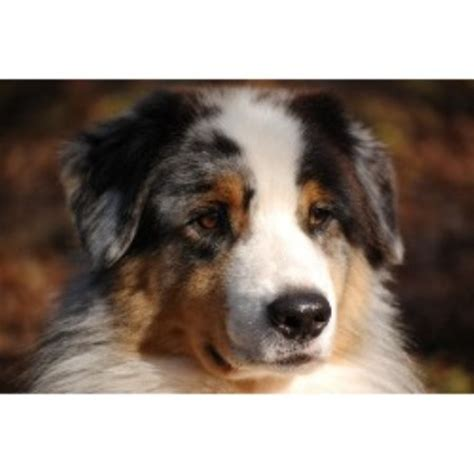 australian shepherd puppies in michigan australian shepherd aussie breeders in michigan freedoglistings