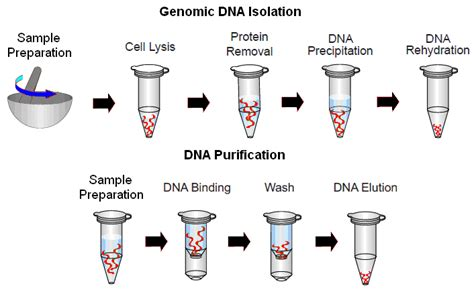 Chemical Engineering Resume Examples by Dna Extraction Protocol From Cells Examples Of Apa Style