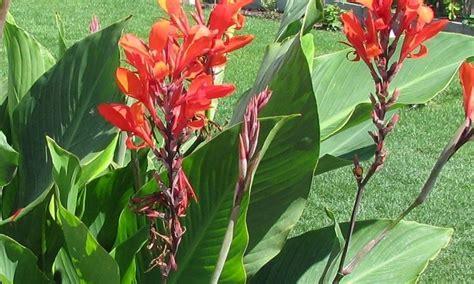 canna indica in vaso canna indica piante perenni coltivaizone cannacoro